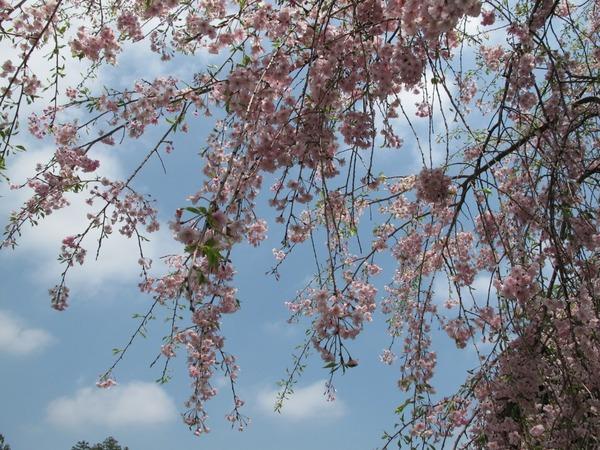 名残の桜.jpg
